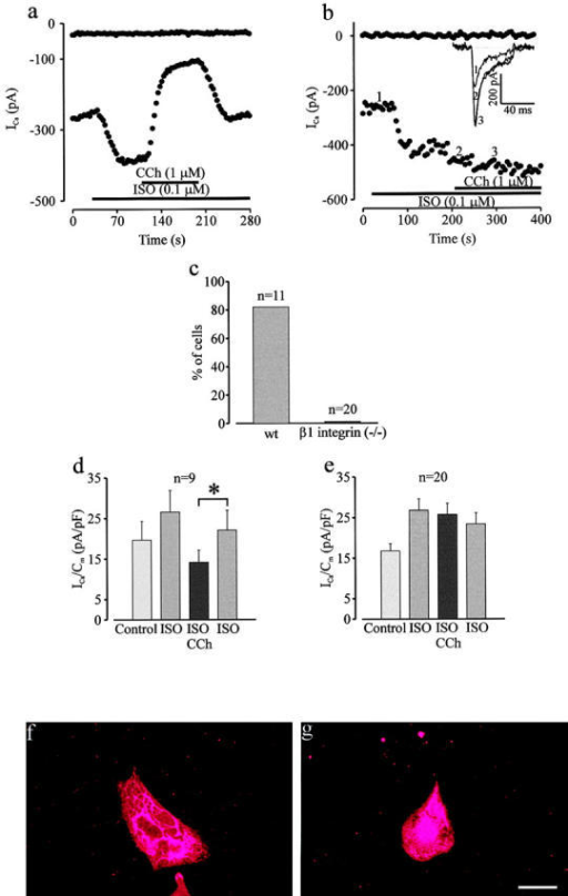Absence of muscarinic inhibition of ISO-prestimulated ICa in β1 integrin−/− ES cell–derived cardiomyocytes. (a) ICa in a representative wt LDS ES cell–derived cardiomyocyte demonstrated prominent stimulation by ISO (0.1 μM) and subsequent inhibition by CCh. The CCh effect was reversed by ISO washout. (b) ICa in a representative β1 integrin−/− ES cell–derived LDS cardiomyocyte displayed strong stimulation by ISO; however, no inhibition by subsequent application of CCh was observed. (c) Percentage of wt and β1 integrin−/− cardiomyocytes displaying CCh-induced depression of ISO-prestimulated ICa. (d) ICa density in wt cells with ISO and CCh response. (e) ICa density in β1 integrin−/− cells exposed to ISO and CCh. (f–g) Immunostaining for Gαi expression in wt (f) and β1 integrin−/− ES cell–derived cardiomyocytes (g). *Indicates statistical significance (paired t test, p-value < 0.05). Bar, 25 μM.