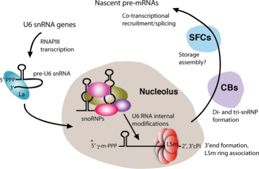 The U6 snRNP assembly and maturation pathway. (*) Note | Open-i