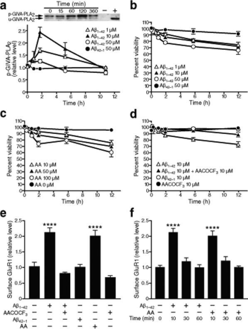 Inhibition of GIVA-PLA2 prevents Aβ1−42 toxicity in primary neuronal cultures. Primary rat neurons were treated with Aβ1−42 oligomers as indicated after 14 days in vitro. Quantitative results were obtained from three wells per condition in five independent experiments and normalized to untreated controls. a, Levels of phosphorylated and unphosphorylated GIVA-PLA2 in cell lysates were determined by western blot analysis. Aβ increased levels of phosphorylated GIVA-PLA2 in a dose- and time-dependent manner (P<0.0001 by two-way ANOVA, mean ± s.e.m.). b–d, Percentage of viable cells determined by trypan blue exclusion and counting of unlabeled cells. b, Aβ caused neuronal cell death in a dose- and time-dependent manner (P<0.001 by repeated-measures ANOVA, mean and s.e.m.). c, AA also led to neuronal death (P<0.01 by repeated-measures ANOVA). d, Pretreatment of cells with AACOCF3, a GIVA-PLA2-specific inhibitor, for 10 min ameliorated Aβ-induced neuronal death (P<0.01 by repeated-measures ANOVA, P<0.001 at 6 and 12 h by paired t test). e, Surface levels of GluR1 were assessed by biotinylation assay 10 min after the indicated treatments. Aβ1−42 (10 μM) increased surface levels of GluR1 compared with Aβ42−1, an effect that could be blocked with AACOCF3 pretreatment and replicated with AA (mean ± s.e.m). f, Surface levels of GluR1 decreased to baseline levels after 30 and 60 min of exposure to Aβ1−42 or AA (mean ± s.e.m.). ****P<0.0001 versus Aβ42−1 (Tukey test).