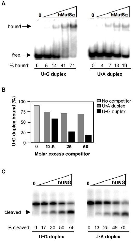 MutSα but not UNG distinguishes U•G and U•A in duplex DNAs. (A) Electrophoretic mobility shift assay of purified hMutSα (16, 32, 65 or 130 nM) binding to labeled DNA duplexes containing U•G mispairs (left) or U•A pairs (right). Arrows indicate bound and free DNA. The percentage of DNA bound is shown below. (B) Quantitation of binding of purified MutSα to radiolabeled U•G duplexes in the presence of indicated levels of unlabeled U•G or U•A duplex competitor. (C) Products of deglycosylation of DNA duplex substrates containing U•G mispairs or U•A pairs by 0, 0.2, 0.4, 0.8, or 1.6 nM of purified hUNG, resolved by denaturing gel electrophoresis. Substrates were 5' end labeled on the uracil-containing strand, and following incubation with hUNG were treated with alkali to hydrolyze the backbone at abasic sites. The fraction of cleaved molecules, quantified by phosphorimager, is shown below each lane.