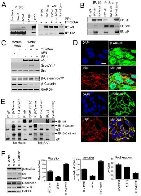 α9β1 co-associates with E-cadherin and β-catenin inducing EMT through src signalingA, Immunoblots for α9 or src from immunoprecipitates of SW480 cells cultured with or without the α9β1 specific ligand, TnfnRAA and/or the src inhibitor, PP1. B, Immunoblots for β1, α9 or Src from immunoprecipitates of matrix activated SW-480-mock (pFN) or SW480-α9 cells (TnfnRAA). C, Immunoblots for α9, Src or β-catenin in lysates from SW480-mock or α9 cells grown with pFN or TnfnRAA and/or PP1. D, Confocal images of SW480-α9 cells to determine co-localization of α9β1 (red) with β-catenin (green, top panel) or E-cadherin (green, bottom panel); nuclei stained blue with DAPI. E, Immunoblots, of immunoprecipitates from SW480-α9 grown on plastic (no matrix) or TnfnRAA (right panel), to determine co-association of α9 with β-catenin or E-cadherin. F, Left panel, Immunoblots for β-catenin, src, E-cadherin or vimentin in lysates from SW480-α9 cells transfected with non-targeted siRNA or siRNA targeted to src or β-catenin; Right panel: Migration (left), invasion (middle) or proliferation (right) assays in SW480-α9 cells following transfection with siRNA as indicated.