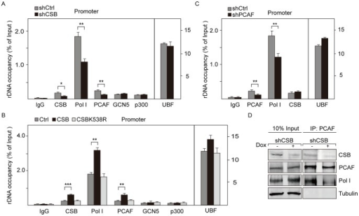 CSB recruits PCAF to rDNA promoter.A. Inducible knockdown of CSB impairs Pol I and PCAF occupancy at rDNA promoter. Knockdown of CSB by CSB-specific shRNA (shCSB) was induced with tetracycline (doxycycline-treated, 1 µg/ml, 72 hr). qRT-PCR data show the associations of CSB, UBF, Pol I, PCAF, GCN5 and p300 with the rDNA promoter in CSB knockdown cells (shCSB) and control cells without treatment with tetracycline (shCtrl). The immunoprecipitated DNA with specific antibodies was normalized to input DNA. Values of the average %IP (±standard deviation) for specific antibodies are shown on the bar graph with the standard deviations from three independent experiments. *P value <0.05, **P value <0.01. B. Overexpression of CSB increases the associations of Pol I and PCAF with rDNA promoter. ChIP data were from NIH 3T3 cells infected with retroviruses encoding wildtype or mutant CSB. The immunoprecipitated DNA from CSB overexpressed cells and mock-transfected cells (Ctrl) was normalized to input DNA. The levels of indicated proteins are shown with the standard deviation from three independent experiments. **P value <0.01, ***P value <0.001. C. Knockdown of PCAF decreases the binding of Pol I, but not UBF and CSB to the rDNA promoter. ChIP assays show the associations of UBF, Pol I, PCAF and CSB with rDNA promoter after knockdown of PCAF in NIH 3T3 cells by PCAF-specific shRNA. The immunoprecipitated DNA with specific antibodies from PCAF knockdown cells (shPCAF) and control cells (shCtrl) was normalized to input DNA. Values of the average %IP (±standard deviation) are shown on the bar graph with the standard deviations from three independent experiments. **P value <0.01. D. Association of PCAF with Pol I depends on CSB. Nuclear extracts from NIH 3T3 cells transfected with either control duplex shRNA or CSB-specific shRNA were incubated with anti-PCAF antibodies or control IgGs. About 10% of input and 80% of precipitated proteins were analyzed on western blots.