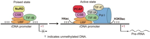 Schematic models for the role of PCAF and CSB in rRNA transcription.Deacetylation of H4 and H3K9 are associated with poised rDNA promoters, whereas acetylation of H4 and H3K9 are restricted to rDNA promoters in active state. After conversion of poised rDNA promoters to active ones, PCAF is recruited to active state of rRNA promoters by CSB, and induces acetylation of histones to promote association of RNA polymerase I with rDNA promoters, thereby facilitating the initiation of rDNA transcription.