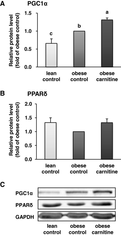 Relative protein level of PGC-1α (A) and PPARδ (B) in M. rectus femoris of lean rats (lean control), Zucker rats fed a control diet (obese control) or Zucker rats fed a diet supplemented with 3 g/kg diet carnitine (obese carnitine) for 4 wk. Bars represent means ± SEM, n = 6/group. Means without a common letter differ (P < 0.05). (C) Representative immunoblots specific to PGC-1α, PPARδ and GAPDH as internal control are shown for one animal per group; immunoblots for the other animals revealed similar results.