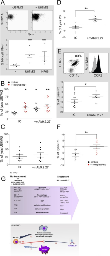 IFN-γ and mAb9.2.27 increase cytotoxicity of microglia against GBM(A) Upper panel: dot plot showing IFN-γ secretion in IL-2 activated NK cells in contact with U87MG cells, Lower panel: quantification of IFN-γ secretion in IL-2 activated NK cells co-cultured with U87MG or HF66 at ratio 2/1 for 18 h. (B) % lysis of U87MG in vitro by microglia from naïve LEWIS rats following activation with IgG2a isotype control, IFN-γ or/and mAb9.2.27. (C) % lysis of U87MG in vitro by NK cells in the presence of IgG2a isotype control or mAb9.2.27. (D-E) Ex vivo purified rat (D) and patient (E) macrophage/microglia from tumor microenvironment were investigated for cytotoxicity against P3-30 tumor pre-incubated or not with mAb9.2.27. Human TAMs were phenotyped for CD45+CD11b+CCR2 expression (E dot plot: CD45+ against CD11b+. E Histogram: isotype control grey histogram, CCR2 black histogram). Lower panel: % lysis of P3-30 tumor by ex vivo TAM from patient GBM following activation with IgG2a isotype control, or mAb9.2.27. (F) Cytotoxicity of rat TAMs was also investigated after 96 h (F) incubation with 100 ng/ml of IFN-γ. Cell viability was determined by flow cytometry using TOPRO-3 as supravital dye. Data are plotted as mean ±SEM, **p<0.01, *p<0.05. (G) Adoptively transferred NK cells as initiators of GBM destruction: schematic representation of the in vivo and in vitro experimental findings.In vivo: combination NK+mAb9.2.27 treatment leads to increased infiltration of the tumor by microglia and macrophages with pro-inflammatory phenotypes, with respectively ED1high ED2low MHC class IIhigh and ED1+ CCR2low molecular expression. This was associated with increase of pro-inflammatory cytokines in the CSF of NK+mAb9.2.27 treated animals, as well as diminution of cellular proliferation and increased tumor cell apoptosis. This resulted in increased animal survival that was abolished by depletion of systemic macrophages by injection of liposome-encapsulated clodronate.In vitro: activated NK cells induced cellular cytotoxicity against GBM (1). The NK cells/GBM interaction led to IFN-γ secretion by NK cells (2). This cytokine inhibited tumor survival promoted by tumor-associated macrophages/microglia (3). NK cells efficiently killed anti-inflammatory M2-like microglia (4). Moreover, mAb9.2.27 inhibited tumor survival mediated by tumor associated macrophages/microglia (5).