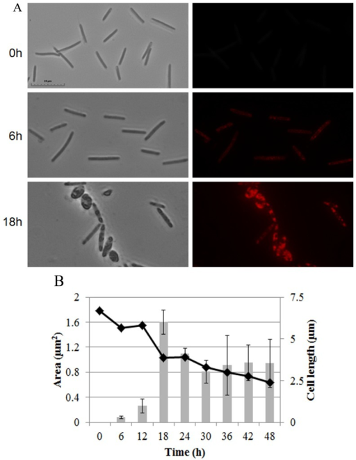 Lipid body production in WT cells during development.(A) DK1622 cells stained with the lipophilic dye Nile red at times indicated during development. Phase (Left), fluorescence (Right). Bar is 10 µm. (B) Lipid bodies were quantified by measuring the average cross sectional area stained with Nile red using at least 30 cells (grey bars). Cell length was measured using phase contrast images of 30 randomly chosen cells (filled diamonds). At 48 h, the cells are a nearly equal mixture of long, peripheral rods and spherical myxospores.