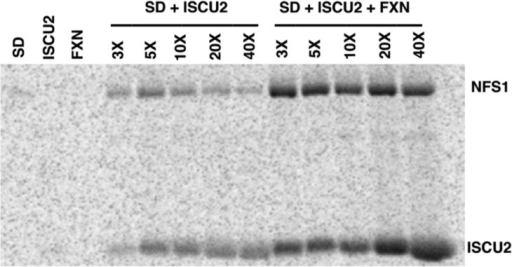 FXN enhances the accumulation of sulfuron NFS1 and ISCU2. Radiolabeledsulfur incorporation from l-[35S]cysteine substrateon NFS1 with subsequent transfer to ISCU2 was monitored by nonreducingSDS–PAGE separation coupled to phosphor imaging. Samples of3 μM SD and 3–40 equiv of ISCU2 (relative to SD) withoutFXN and with 9 μM FXN were incubated for 2 min with l-[35S]cysteine and analyzed by SDS–PAGE. The firstthree lanes correspond to SD, ISCU2, or FXN controls that were incubatedfor 2 min with l-[35S]cysteine.