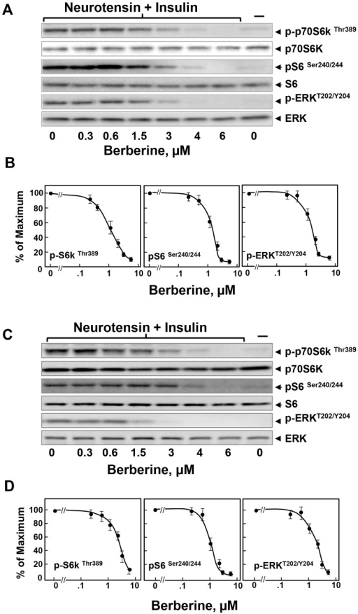 Berberine inhibits mTORC1 signaling and ERK activation in PDAC cells.Cultures of MiaPaCa-2 (Panels A and B) or PANC-1 cells (panels C and D) were incubated in the absence or in the presence of increasing concentrations of berberine. Then, the cells were stimulated for 1 h with 5 nM neurotensin and 10 ng/ml insulin and lysed with 2X SDS-PAGE sample buffer. The samples were analyzed by SDS-PAGE and immunoblotting with antibodies that detect the phosphorylated state of S6K at Thr389, S6 at Ser240/244, and ERK at Thr202 and Tyr204. Immunoblotting with total S6K, S6 and ERK was used to verify equal gel loading. The quantification of the immune signals was performed using Multi Gauge V3.0. The results are presented in the plots shown in panels B and D. The values represent the mean ± SEM (n = 3) of S6K, S6 and ERK phosphorylation expressed as a percentage of the maximal response obtained in 3 independent experiments.