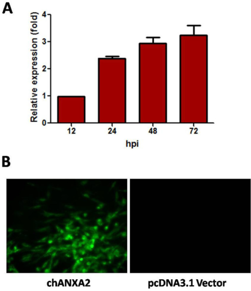 (Qin) Infection of the chANXA2-transfected cells.Geese embryo fibroblasts (GEF) and 293T cells were transfected with chANXA2, and the transfected cells were then infected with ALV-J at an MOI of 5. (A), The replication of ALV-J in the 293T cells transfected with ANXA2 was measured by real-time PCR; (B), The replication of ALV-J in the GEF cells transfected with ANXA2 was measured IFA after inoculating the homogenate from the transfected GEF cells to the DF1 cells.