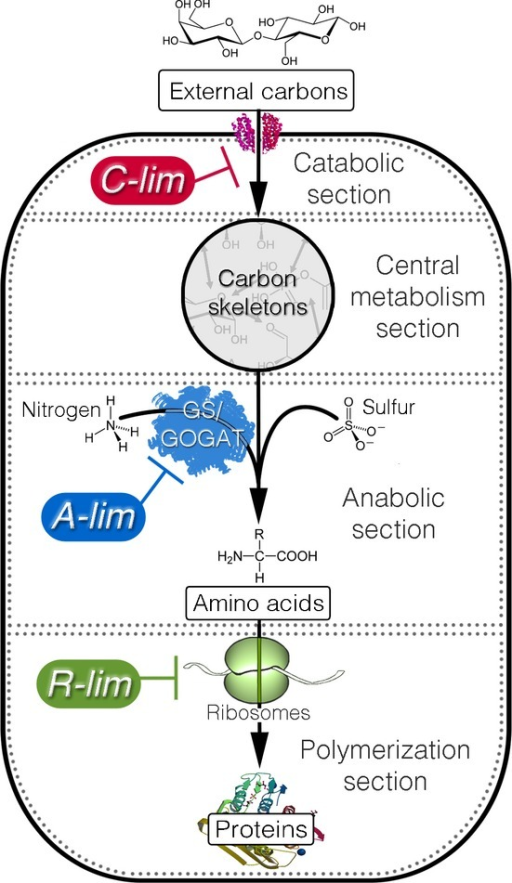 Coarse-grained metabolic flow of protein production and the three modes of growth limitationThrough the (carbon) catabolic section, the cells take up external carbon sources and break them down into the set of standard carbon skeletons (pyruvate, oxaloacetate, etc.). The carbon skeletons are interconvertible through the central metabolism section. The anabolic section synthesizes amino acids from the carbon skeletons and other necessary elements such as ammonia and sulfur. The amino acids are then assembled into proteins by the polymerization section. The three modes of growth limitation were imposed on the metabolic sections as shown. The C-limitation (C-lim) and A-limitation (A-lim) were carried out with strains constructed for titrating the catabolic and anabolic flux, respectively; see Supplementary Figs S1 and S2, and Supplementary Table S1. The R-limitation (R-lim) was realized for the WT strain by supplying the growth medium with various levels of an antibiotic, chloramphenicol.