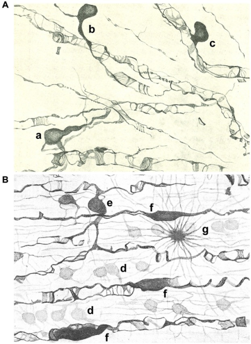 Drawings of the subcortical (A) and spinal cord (B) white matter after staining with the Golgi-Hortega method. (A) Display of oligodendrocytes of the third type with different kind of processes around axons are represented: one has two clear and long processes (a), while others are endowed with a single process divided into an acute angle for two axons (b) or in T that ensheathes a nerve fiber (c). (B) Illustration of oligodendrocytes of the first (d); third [e; similar to a in panel (A)] and fourth type (f) as well as a fibrous astrocyte (g). Modified from Del Río Hortega (1928).