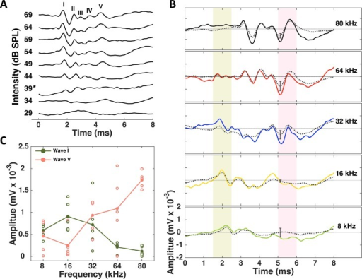 Auditory brainstem responses to click and tone stimuli.(A) ABRs recorded from one CBA/CaJ mouse in response to clicks of increasing intensity (individual traces from bottom to top). The star on the y-axis represents the threshold stimulus intensity. The different ABR peaks are labeled using roman numerals. (B) ABRs recorded from one CBA/CaJ mouse in response to pure-tone pips of increasing frequency (individual panels from bottom to top). Each panel shows the mean response (in color) averaged over 500 repeats. The black stippled line in each panel shows the mean response (± standard error) averaged over a population of 5 animals. The shaded areas in light green and pink indicate the timing of waves I and V respectively. (C) Amplitude of wave I vs. wave V at each of the frequencies we tested. Open circles represent the data obtained from individual animals. The lines join the mean values across different frequencies.