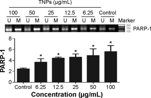 TNPs induced the alternation of PARP-1 methylation status.Notes: A549 cells were exposed to various concentrations (6.25 μg/mL, 12.5 μg/mL, 25 μg/mL, 50 μg/mL, and 100 μg/mL) of TNPs for 24 hours, methylation-specific PCR was performed to examine the methylation status of PARP-1. U and M: primer sets specific to unmethylated (U) and methylated (M) DNA molecules. The data were typical examples of five independent experiments. *P<0.05, compared with control.Abbreviations: TNPs, titanium dioxide nanoparticles; PARP-1, poly(ADP-ribose) polymerase 1; PCR, polymerase chain reaction.