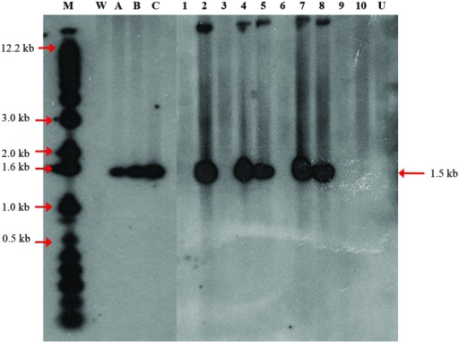 Integration patterns of the DOGR1 gene determined by Southern blot analysis. Thirty μg oil palm genomic DNA was digested with HindIII and EcoRI and blotted onto nylon membrane and probed with a dATP32 labeled 1.5 kb CaMV35S-DOGR1-nos fragment isolated from pBIDOG plasmid. Copy number reconstruction experiment was performed by loading 30 μg untransformed genomic DNA spiked with 0 (lane W), 0.1 (lane A), 0.5 (lane B), and 1 (lane C) copy of the 1.5 kb CaMV35S-DOGR1-nos fragment. Lane M, 1 kb plus marker; Lane U, untransformed plant; Lanes 1–10, samples of transformed oil palm shoots.