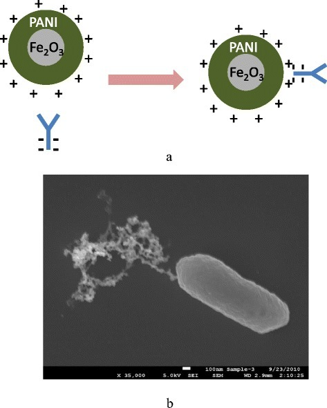 a Schematic of the conjugation of Polyaniline (PANI)-coated magnetic nanoparticles (MNPs) and antibody; and (b) Scanning electron microscopy (SEM) image of an antibody-conjugated MNP bound to an E.coli O157:H7 cell [6]; used with permission from International Journal of Food Safety, Nutrition and Public Health (Inderscience retains copyright of the original article and figure)