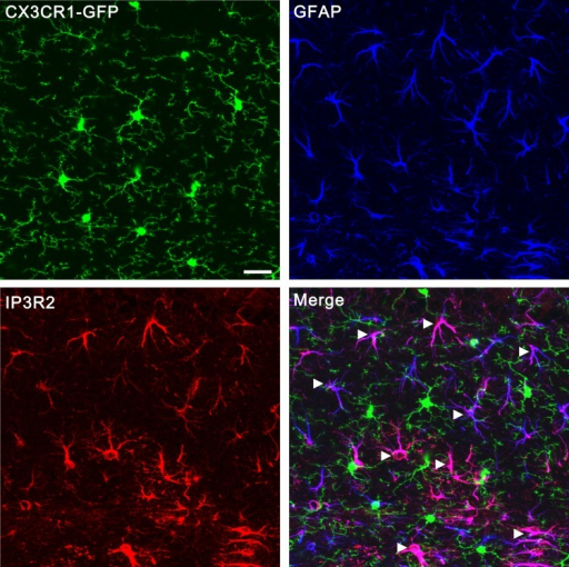 Confocal images showing that IP3R2 was specifically expressed in GFAP-positive astrocytes but not GFP-positive microglia.Microglias were visualized using transgenic mice in which all microglia express GFP (green) under the control of the CX3CR1 promoter. Astrocytes were labeled by the specific marker GFAP (blue). IP3R2 was co-localized with GFAP-positive astrocytes (arrowheads) but not GFP- positive microglia (arrows). Scale bar, 20 µm. Images were obtained from hippocampus but not the VPm because the same antibodies (Santa cruz, sc-7278; Millipore, AB3000) that worked for hippocampus did not work for VPm.DOI:http://dx.doi.org/10.7554/eLife.15043.004