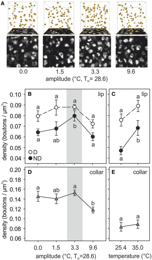 Temperature effects on synaptic bouton densities. (A) Examples of synapsin-IR bouton quantification in the ND lip of ants reared at 0.0, 1.5, 3.3, and 9.6°C of thermal amplitude (mean temperature, Tm: 28.6°C). Single confocal image of a 10 × 10 μm2 synapsin-stained area in the ND lip (bottom) and 3D reconstruction (top) of the position of the boutons visualized by AMIRA in a 1000 μm3–volume (10 × 10 × 10 μm3). Each yellow sphere marks the center of a synapsin-IR bouton. (B–E) Presynaptic bouton densities in (B,C) the olfactory D and ND lip and (D,E) the visual collar input regions of the MB calyces of ants (B,D) reared at different amplitudes of fluctuating temperature but the same mean temperature or (C,E) different constant temperature regimes. Gray area shows the temperature regime selected by nurses for brood translocation. Symbols represent the mean value of each group and lines the S.E. Different letters indicate significant differences among amplitudes or between constant temperatures. Lip: N0 = 13, N1.5 = 9, N3.3 = 10, N9.6 = 11, N25.4 = 11, N35 = 11; collar: N0 = 10, N1.5 = 8, N3.3 = 11, N9.6 = 10, N25.4 = 11, N35 = 10.