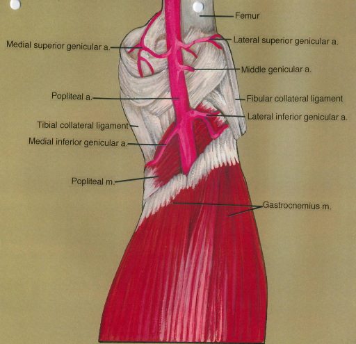 medial superior genicular artery; popliteal artery; tibial collateral ligament; medial inferior genicular artery; popliteal muscle; femur; lateral superior genicular artery; middle genicular artery; fibular collateral ligament; lateral inferior genicular artery; gastrocnemius muscle