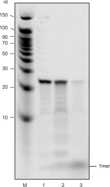 Activity of YtqI on RNA 24-mers. Reactions containing 5′ 33P-labeled RNA 24-mers (5′CACACACACACACACACACACACA3′) were incubated for 30 min at 37°C. M, decade marker; 1, no enzyme control; 2, YtqI; 3, positive control (YhaM).