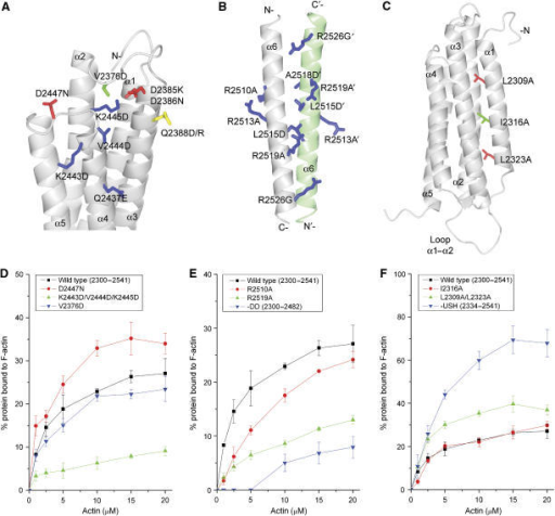 Identification of residues in the C-terminal actin-binding site of talin, which contributes to binding. (A–C) Ribbon diagrams highlighting the mutations introduced in talin 2300–2541. (A) F-actin-binding surface on the core five-helix bundle, (B) the dimerisation domain and (C) the USH. Residues are colour coded according to the effects of the mutation on F-actin binding compared to wild type: red—increase in binding; green—no change; blue—decrease in binding. Residue Q2388 is shown in yellow. (D–F) Quantitative analysis of the effects of talin mutations on F-actin binding (means of three independent experiments) as determined using the actin-co-sedimentation assay described in Materials and methods. Bars represent standard deviations. The data for all the mutants analysed are shown in Supplementary Figures S5, S7 and S8.