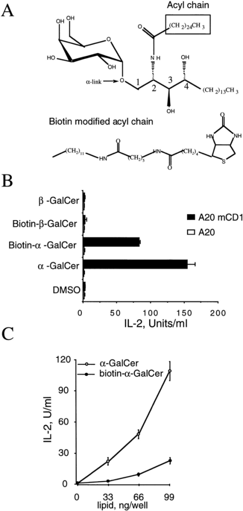 Biotin-modified α-GalCer is antigenic for NK T cells. (A) Antigen structures. α-GalCer is shown on the top, with the α-linkage of the sugar indicated by an arrow and the acyl chain of the ceramide moiety enclosed within a box. The position 1–4 carbons of the sphingosine are indicated. The biotin-modified acyl chain of biotin–α-GalCer and biotin–β-GalCer is shown below. (B) Biotin–α-GalCer can be recognized by NK T cells. mCD1-transfected or control, mock-transfected A20 cells were pulsed with 100 ng/ml of lipid antigen, or with 0.1% DMSO vehicle control, washed, and added to cultures of the 3C3 mouse NK T cell hybridoma for 16 h. IL-2 release was measured by ELISA. Data shown are from one experiment that was repeated five times. (C) Dose-dependent stimulation of the 3C3 hybridoma in response to increasing amounts of either α-GalCer or biotin–α-GalCer presented by 1 μg/well mCD1 immobilized on a microtiter plate. This experiment is representative of three independent experiments.