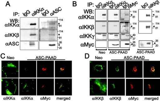 ASC associates with IKKα and IKKβ. (A and B) CoIP assays were performed using THP-1 cells that had been treated with LPS for 30 min. Cleared lysates were subject to coIP using either IgG, anti-IKKα, or anti-ASC antibodies and the resulting immune-complexes were analyzed by WB using various antibodies, as indicated. (B) Cleared lysates from stable HEK293N-Neo and HEK293N-ASC-PAAD cells were subjected to coIP using either IgG, anti-IKKα, anti-IKKβ, or anti-Myc antibodies and the resulting immune-complexes were analyzed by WB. (C and D) Immunofluorescence analysis of stably transfected HEK293N-Neo and HEK293N-ASC-PAAD cells was performed, using either anti-IKKα (C) or anti-IKKβ (D) polyclonal rabbit and goat antibodies, respectively, in combination with mouse monoclonal anti-Myc epitope antibody for detection of Myc-ASC-PAAD protein. From left to right: Localization of FITC-labeled IKKα or IKKβ is shown for Neo cells and ASC-PAAD–expressing cells, followed by localization of TRITC-labeled Myc-ASC-PAAD, and then two-color fluorescence analysis (merge).