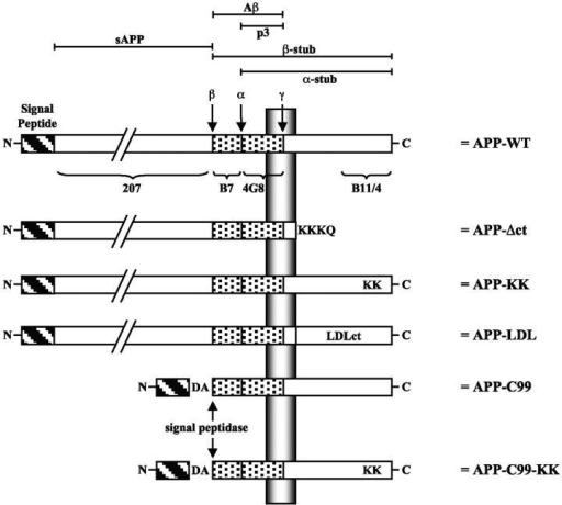 APP-trafficking mutants. APP is schematically represented (APP-WT). The different relevant proteolytic fragments are indicated at the top. The ectodomain is detected by pAb207, the amyloid peptide region 1–16 is detected by pAb B7, region 1–5 by mAb 3D6, region 17–24 is detected by mAb4G8, and the last 20 amino acids of the COOH-terminal cytoplasmic tail are detected by pAb B11/4 and pAb 6687. α-, β-, and γ-secretase cleavage sites are indicated. In the APP-C99 construct, a supplementary Asp and Ala residue (DA) has been added to obtain cleavage by the signal peptidase at the β-secretase site (see Lichtenthaler et al., 1999). For further details see Materials and methods.