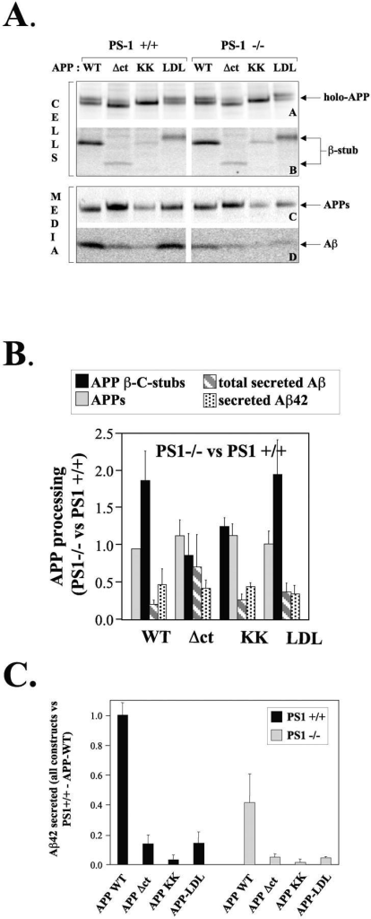 Processing of APP trafficking mutants in PS1+/+ and PS1−/− neurons. (A) PS1+/+ or PS1−/− primary neuronal cultures were transduced with pSFV bearing APP-WT, APP-Δct, APP-KK, or APP-LDL as described, and metabolically labeled with [35S]methionine for 4 h at 37°C. Cell extracts (two top panels) and culture media (two bottom panels) were immunoprecipitated using the appropriate antibodies and analyzed on 10% or 4–12% NuPage gels. The position of the various APP fragments is indicated. Note that the APP-Δct holo-forms and COOH-terminal β-fragments migrate faster because the cytoplasmic domain is deleted, whereas the APP-LDL fragments migrates slower due to the large LDL receptor cytoplasmic domain. The COOH-terminal α-stub is not detected here because antibody B7 does not react with that fragment. (B) APP fragments from three independent experiments were quantified using PhosphorImaging and normalized to the level of expression of the APP holo-forms (De Strooper et al., 1995, 1998; Annaert et al., 1999). Data obtained in the PS1−/− neurons are compared with the data obtained in the PS1+/+ neurons. This shows the relative effect of the absence of PS1 on each APP fragment separately. Since APP-Δct is processed by β-secretase to a limited extent only, the results displayed in Fig. 3 are more significant for conclusions regarding the level of γ-secretase processing of this construct. (C) The secretion of Aβ42 was analyzed by ELISA. All results are normalized to the level secreted by PS1+/+ neurons transfected with APP-WT. Dark bars and light bars represent data obtained in PS1+/+ and PS1−/− neurons, respectively.