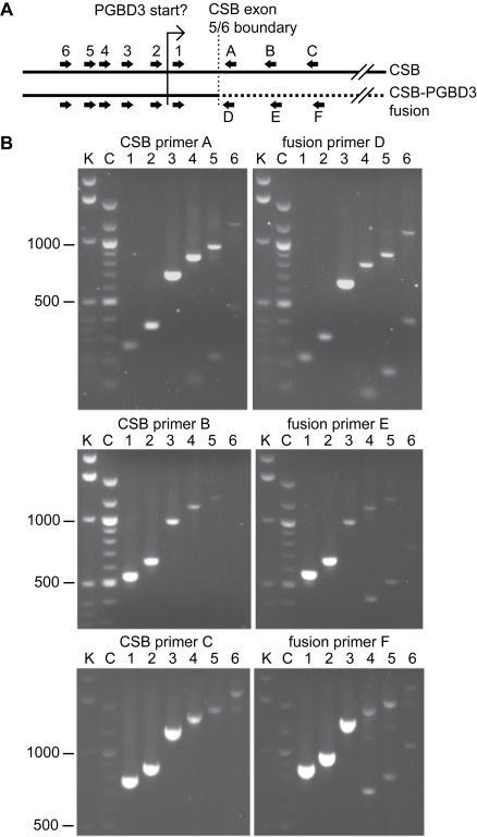 The Extent and Abundance of the CSB-PGBD3 Fusion Transcript Assayed by Quantitative Real-Time RT-PCR.(A) Location of six upstream primer sites, common to both the CSB and CSB-PGBD3 fusion transcripts; and three downstream primer sites specific to each transcript. (B) Most of the tested primer pairs generated clean PCR products of the predicted size; identity was verified by sequencing. The smaller products generated by primers A, D, E and F appear to be alternatively spliced transcripts lacking the 745 nt CSB exon 5; these transcripts are not predicted to encode a functional protein. The products of the 40-cycle real-time protocol were resolved by 1% agarose gel electrophoresis. K, Invitrogen 1 kb ladder; C, NEB 100 bp ladder; markers in bp.