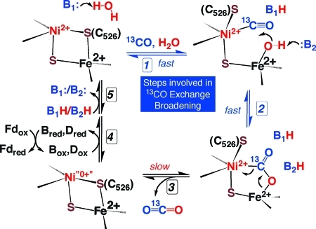 Revised mechanism of CO oxidation suggested by 13C NMR experiments. Steps 1 and 2, which are monitored by the 13CO line broadening experiments, are designated with blue arrows. Exchange of bound 13CO2 with solution CO2 is too slow to be involved in 13CO exchange broadening.