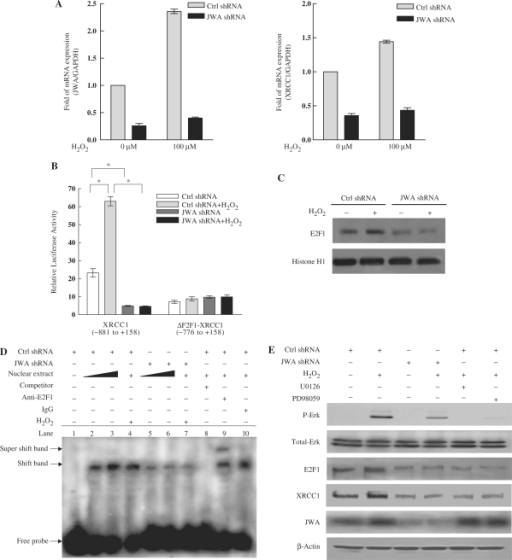 JWA regulates XRCC1 transcription via the MAPK signaling pathway and E2F1. (A) JWA knockdown in NIH-3T3 cells significantly inhibits H2O2-induced transcription of XRCC1. NIH-3T3 cells were transfected with a control shRNA or a JWA shRNA plasmid, followed by treatment with or without 100 μM H2O2 for 30 min. Levels of JWA and XRCC1 transcription were detected by quantitative RT-PCR, and GAPDH was used as an endogenous control to normalize the differences in the amount of total RNA in each sample. (B) The E2F1-binding domain in the XRCC1 promoter is required for the JWA-mediated increase in XRCC1 expression after exposure to H2O2. NIH-3T3 cells were co-transfected with either control shRNA or JWA shRNA, together with the XRCC1 promoter-reporter (–881 to + 158, containing E2F1-binding domain) or an E2F1-binding site deleted XRCC1 promoter-reporter (ΔE2F1-XRCC1, –776 to + 158). After 24 h, the transfected cells were cultured with or without 100 μM H2O2 for 30 min, then the reporter activity was examined. The means ± SD of triplicate experiments are shown. *P < 0.05. (C) JWA is required for H2O2-induced E2F1 expression. NIH-3T3 cells were transfected with a control shRNA or JWA shRNA plasmid. Then 48 h after transfection, the cells were treated with or without 100 μM H2O2 for 30 min, and nuclear lysates were collected for detection of E2F1 by immunblotting. Histone H1 was used as the nuclear protein loading control. (D) JWA alters the affinity of E2F1 for the XRCC1 promoter, as detected by EMSA. The nuclear protein extracts of the NIH-3T3 cells (with or without treatment with 100 μM H2O2 for 30 min) were incubated with a biotin-labeled double-strand oligonucleotide probe of the XRCC1 promoter region, which contains an E2F1-binding domain (–826 to –797 bp). JWA shRNA transient transfection was used to knock down JWA expression in the NIH-3T3 cells. The DNA–protein complex (shift band) or DNA–protein–antibody complex (supershift band) is indicated by an arrow. Lane 1 contains no nuclear extracts. All other lanes contain 0.5-μg nuclear extracts except lanes 3 and 6 which contain 1-μg nuclear extracts. Lane 8 represents competition analysis using 100-fold unlabeled probes. The supershift band was observed when the E2F1 antibody was added (lane 9) and IgG was used as negative control for supershift (lane 10). (E) JWA regulates E2F1 expression via MAPK signaling cascades. JWA shRNA and control shRNA plasmids were transiently transfected into NIH-3T3 cells. After 46 h, the control shRNA vector transfected cells were incubated with 20 μM of PD98059 or 10 μM U0126 for another 2 h. All transfected cells were then cultured for another 30 min in the presence or absence of H2O2 (100 μM), and the whole-cell lysates were collected for western blotting.