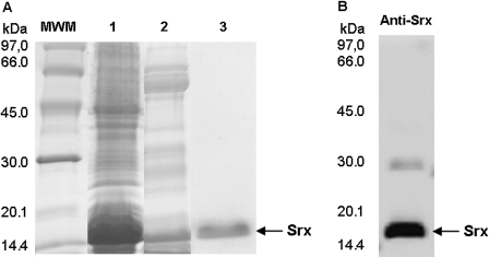 Purification of recombinant AtSrx and confirmation of the Srx identity. (A) SDS-PAGE and Coomassie Brilliant Blue R-250 staining. Lane 1, crude extract; lane 2, after His-tag column; lane 3, pure protein after Mono Q chromatography. (B) Western blot with a specific antibody against Srx.