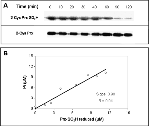 Correlation between Srx activity measured by the determination of released phosphate and that using specific antibodies against hyperoxidized Prx. Reaction mixture containing 50 mM TRIS-HCl (pH 7.5), 1 mM MgCl2, 250 μM ATP, 10 mM GSH, 15 μM Prx-SO2H, and 5 μM Srx was incubated at 30 °C. (A) At the indicated times, aliquots were withdrawn and subjected to Western blot with specific antibodies against Prx-SO2H and 2-Cys Prx (control). (B) The concentration of Prx-SO2H reduced was determined from the corresponding Western blot band intensity (by analysed imaging) and plotted against the concentration of phosphate determined in the same samples.