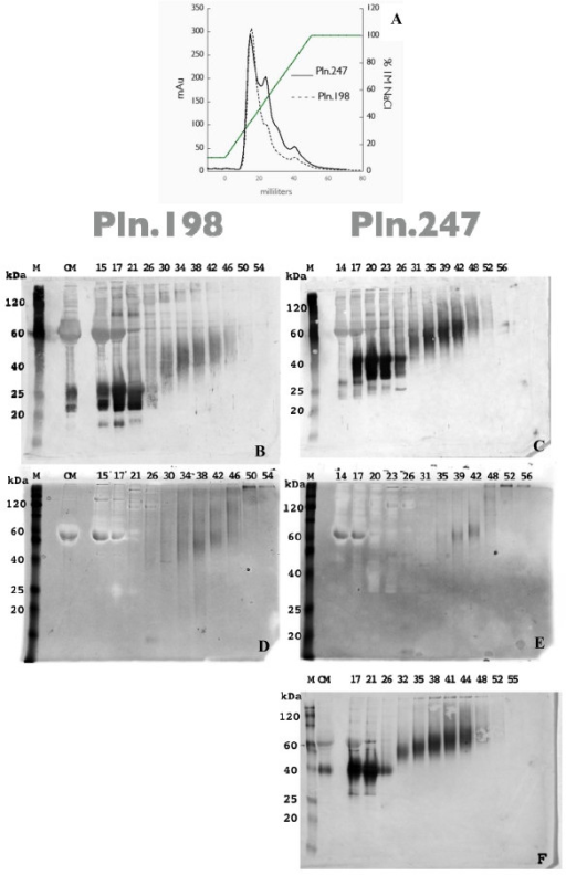 Anion Exchange Chromatography of rhPln.247 conditioned media (CM). A: Chromatogram of elution profile for rhPln.198-Ad and rhPln.247-Ad CM expressed from HEK 293 cells; B and C: Western blots of anion exchange fractions with mAb CSI 001-71 recognizing the Pln.D1 core; D and E: Stains-All analysis of HEK 293 fractions; F: Fractions from HUVEC synthesis. Panels B and D represent rhPln.198 fractionation; panels C, E, F represent rhPln.247 fractionation. (M) Markers; (CM) Conditioned medium undiluted from cells. Similar data were generated using plasmid expression of pln.247 (not shown).