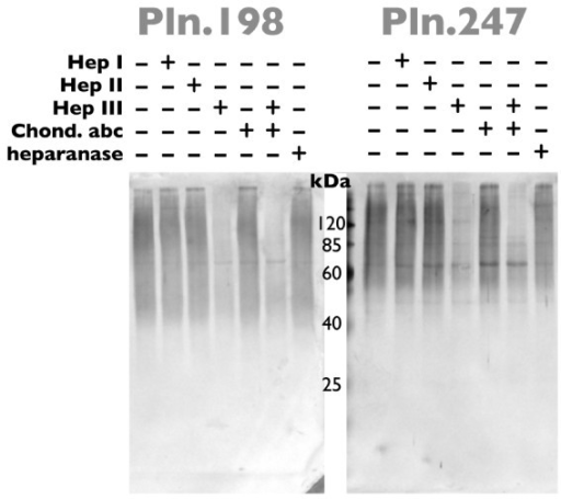FGF-2 ligand blot binding of glycosidase-digested rhPln.D1. Pooled anionic exchange fractions of rhPln.198 or rhPln.247 from HEK 293 cell culture were subjected to digestion as designated; buffer only, heparinase I (Hep I), heparinase II (Hep II), heparinase III (Hep III), chondroitinase ABC (Chond. abc), all three heparinases plus chondroitinase ABC, or heparanase. Samples were subjected to SDS-PAGE and blotted to nitrocellulose. After blocking, the blot was then incubated with rhFGF-2 overnight, washed, then the bound rhFGF-2 was detected by anti-FGF-2 biotin-conjugates and streptavidin-alkaline phosphatase staining.