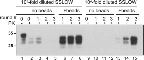 Beads improve the amplification efficiency of SSLOW.SSLOW scrapie brain material was diluted 103-fold (lanes 1–8) or 104-fold (lanes 9–15) into 10% NBH, subjected to serial PMCA in the absence or presence of 3 small beads, as indicated, and digested with PK. Each PMCA round consisted of 48 cycles; the material amplified in each round was diluted 10-fold into 10% NBH for the next PMCA round. Undigested 10% NBH (lane 1) loaded at 1/10th the amount of the digested samples is provided as a reference.