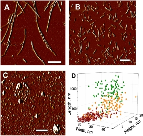 AFM imaging of rPrP fibril fragmentation.AFM imaging of intact rPrP fibrils (A) and fibrils sonicated for 30 sec in the absence (B) or presence of 5 small beads (C) using sonication conditions identical to those used in PMCA. Scale bars  = 0.5 µm. (D) Analysis of length, width and height for intact rPrP fibrils (green circles) and fibrils sonicated in the absence (orange circles) or presence of 5 small beads (red circles).