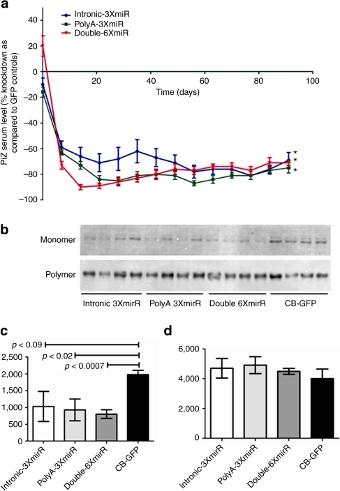 Long-term in vivo silencing of human AAT by rAAV9 expressed miRNAs. Transgenic mice expressing the human PiZ allele were injected with 1 × 1012 virus particles or rAAV9 expressing miRNAs against AAT under the control of the hybrid chicken β-actin promoter via the tail vein. (a) Serums from each cohort were collected on a weekly basis and were used to assess Z-AAT concentration by ELISA. Hepatocytes PiZ monomer versus polymer densitometry analysis at 90 days post-rAAV9 delivery. (b) Immunoblot for AAT after the monomer and polymer separation protocol from liver lysates of mice. The 52 kDa Z-AAT was from livers was processed and separated in into a monomer and polymer pool. (c) Densitometric analysis for the monomer and (d) polymer pools was performed using Image J software. Statistical significance was considered when *P ≤ 0.05 as determined by a two-way unpaired Student's t-test. AAT, α-1 antitrypsin; CB-GFP, chicken β-actin–green fluorescent protein; ELISA, enzyme-linked immunosorbent assay; miRNA, microRNA; rAAV, recombinant adeno-associated virus.