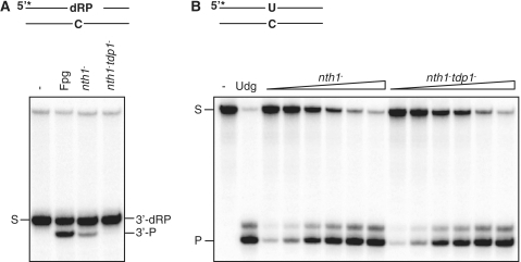 Tdp1 possesses 3′-α,β-unsaturated aldehyde activity leaving a 3′-P terminus. (A) Assay for processing 3′-dRP termini. Ten micrograms total protein extracts from nth1− (RHP357) and tdp1−nth1− (RHP378) cells were analyzed for cleavage of an Nth-nicked ds AP substrate as described in Figure 1A. The substrate (S; 3′-dRP) and the cleavage product (3′-P) are indicated. Escherichia coli Fpg was used as a positive control for the 3′-P cleavage product. (B) Udg activity in the nth1− and tdp1−nth1− extracts. The nth1− and tdp1−nth1− extracts (0.03, 0.06, 0.12, 0.25, 0.5 and 1.0 µg; as in A) were incubated with 10 fmol duplex DNA containing an uracil (opposite C) in reaction buffer for 30 min at 37°C, following incubation with 100 mM NaOH for 10 min at 70°C. The cleavage products were separated on a sequencing gel and visualized by phosphorimaging. The substrate (S) and the cleavage product (P) are indicated. Escherichia coli Udg was used as a positive control.