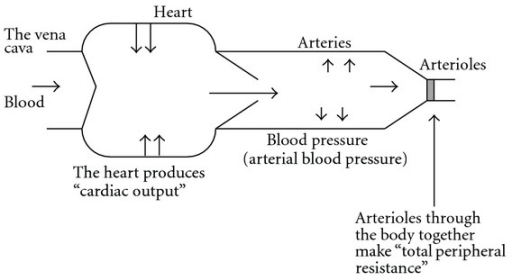 Blood pressure is produced by cardiac output and total peripheral resistance.