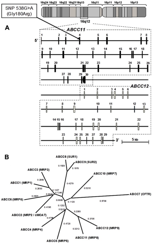 "Schematic illustration of the genomic structures of ABCC11 and ABCC12 genes on human chromosome 16q12.1. (A) The cytogenetic location of the ABCC11 gene as well as the structures of exons and introns were analyzed by BLAST searches on the human genome. A non-synonymous SNP: 538G > A (Gly180Arg), an earwax determinant, is located in exon 4. (B) Phylogenetic tree of the ABCC subfamily including CFTR, SUR1, SUR2, and MRPs. The phylogenetic tree was modified from Toyoda et al. (2008). The phylogenetic relationships among members of the ""C"" sub-family of human ABC transporters were calculated by using the distance-based neighbor-joining methods (Saitou and Nei, 1987)."