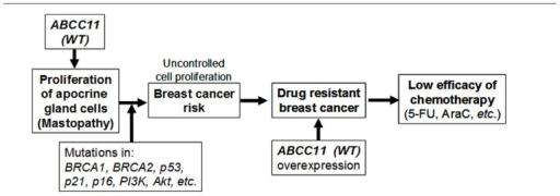 The potential impact of ABCC11 WT (538G) on the apocrine phenotype, patients' response to nucleoside-based chemotherapy, and the potential risk of mastopathy and breast cancer. BRCA-1, breast cancer-1; BRCA-2, breast cancer-2; PI3K, phosphatidylinositol 3-kinase; ERα (+), estrogen receptor α-positive; 5-FU, 5-fluorouracil; AraC, cytarabine. This scheme is modified form Toyoda and Ishikawa (2010).