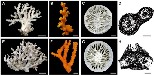 Dendrophyllia boschmai and Dendrophyllia cribrosa.A–D, Dendrophyllia boschmai (OCU 6652–6661). E–H, Dendrophyllia cribrosa (OCU 6662–6671). A, E, Side views of whole colonies. Scale bars = 50 mm. B, F, Living colonies surrounded by orange-colored coenosteum tissues. Scale bars = 10 mm. C, G, Calicular view showing a Pourtalès septal plan. Scale bars = 1 mm. D, H, Drawings of transverse thin sections. Note that individual corallites are connected with coenosteum skeletons. Scale bars = 3 mm.