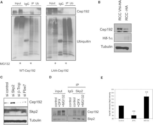 Hydroxylation of Cep192 Targets the SCFSkp2 Complex(A) Cep192 is ubiquitinated. HeLa cells expressing Cep192-GFP or Cep192-LAA-GFP were treated with MG132 for 3 hr, and then lysates were immunoprecipitated with control IgG or with anti-ubiquitin antibody and immunoprecipitates were blotted for Cep192 (upper panels) or ubiquitin (lower panels).(B) Cep192 stability is not dependent on pVHL. Whole-cell lysates of renal cell carcinoma (RCC) cells and RCC cells reconstituted with HA-pVHL were blotted for the indicated proteins.(C) Cep192 destabilization is dependent on Skp2. HeLa cells were treated with the indicated siRNAs and whole-cell extracts were blotted with the indicated antibodies.(D) Cep192 interaction with Skp2 depends on hydroxylation. Cells were treated with MG132 or DFX for 3 hr, and then lysates were immunoprecipitated with control IgG or with anti-Skp2 antibody and immunoprecipitates were blotted for Cep192.(E) Quantification of Cep192-Skp2 interaction. Values represent averages of four different experiments. Error bars represent SD. p values are significant according to the Student's t test; ∗∗p < 0.01.