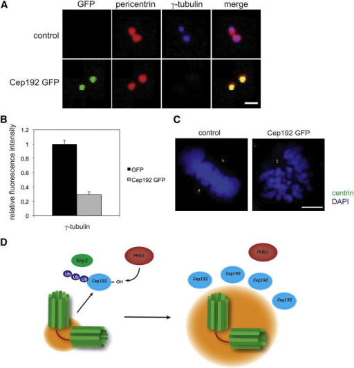 Cep192 Overexpression Phenotype Overlaps with PHD1 Depletion(A) Cep192 overexpression interferes with centrosomal recruitment of γ-tubulin. HeLa cells were transfected with Cep192-GFP (green) and stained for pericentrin (red) and γ-tubulin (blue). The scale bar represents 1 μm.(B) Quantification of the relative fluorescence intensity of γ-tubulin. Error bars represent SD.(C) Overexpression of Cep192 interferes with centriolar duplication. HeLa cells transfected with Cep192-GFP were stained for centrin (green) and DNA (blue). Phenotype was observed in n = 8/20. The scale bar represents 5 μm.(D) Schematic of the proposed model for PHD1 regulation of Cep192.