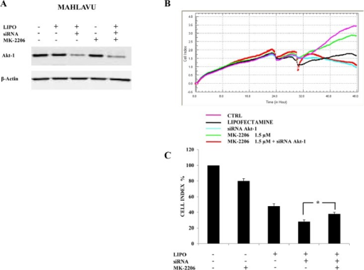 Down-regulation of Akt-1 reduces MK-2206 cytotoxicity in Mahlavu cells(A) Western blot analysis for Akt-1 in cells transfected for 24h with siRNA to Akt-1 and effects of MK-2206. LIPO: cells treated with Lipofectamine alone. β-actin served as a loading control. (B, C) xCELLigence System analysis documenting the effects of MK-2206 (18h of treatment) on cell growth, starting after 6h of transfection with siRNA to Akt-1. In (B) one representative of three different experiments is shown. In (C) the results are the mean ± s.d. of three different experiments. The asterisk indicate significant differences (p<0.05).