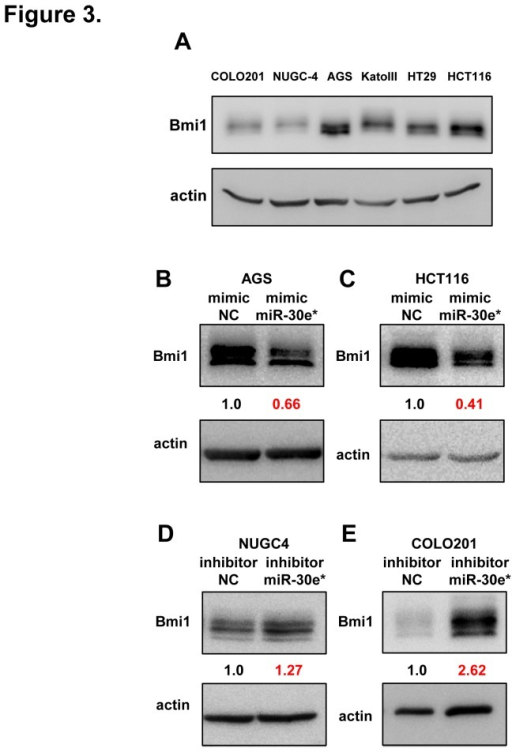 miR-30e* suppresses Bmi1 expression in gastrointestinal cells.(A) Western blot analysis of Bmi1 expression in 6 gastrointestinal cancer cell lines. (B) Western blot analysis of Bmi1 expression in high Bmi1-expressing AGS cell lines transfected with negative control (NC) and miR-30e* mimics. (C) Western blot analysis of Bmi1 expression in high Bmi1-expressing HCT116 cell lines transfected with NC and miR-30e* mimics. (D) Western blot analysis of Bmi1 expression in low Bmi1-expressing NUGC4 cell lines transfected with NC and miR-30e* inhibitors. (E) Western blot analysis of Bmi1 expression in low Bmi1-expressing COLO201 cell lines transfected with NC and miR-30e* inhibitors.