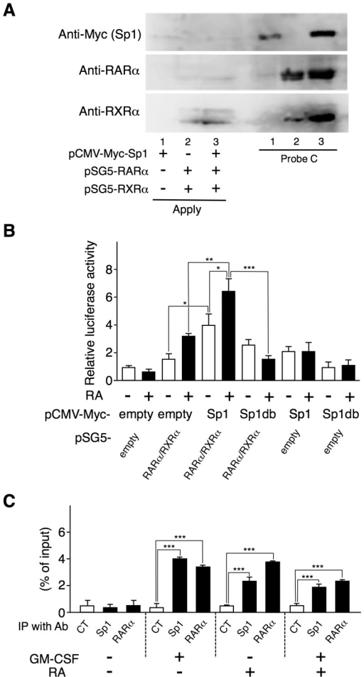 Sp1 and RARα/RXRα enhance each other's binding to the Aldh1a2 promoter and cooperatively enhance its activity.(A) COS-7 cells were transfected with the 0.5 µg of pCMV-Myc-Sp1, the combination of pSG5-RARα and pSG5-RXRα, or the three. One day after transfection, cell lysates were subjected to DNAP assay using anti-Myc Ab, anti-RARα Ab, or anti-RXRα Ab, and biotinylated DNA Probe C whose sequence is shown in Figure 3. (B) COS-7 cells were transfected in triplicate with the 1.25 µg of pGL4-RALDH2 (−873) reporter vector and the 0.5 µg of expression vectors, pCMV-Myc-Sp1, pCMV-Myc-Sp1db, pSG5-RARα, and pSG5-RXRα, or control empty vectors. One day after transfection, cells were stimulated with or without 100 nM RA for 16 h. Then luciferase activities were measured. Relative promoter activities were calculated by arbitrarily defining the activity of pGL4-RALDH2 (−873) alone without RA as 1. (C) Flt3L-generated BM-DCs were cultured with or without 10 ng/ml GM-CSF or 10 nM RA. These cells were subjected to ChIP assay with anti-Sp1 or anti-RARα Ab or control IgG1. Binding of Sp1 and RARα proteins to the Aldh1a2 promoter site was estimated by real-time PCR. Data in (B and C) are presented as mean + SD of triplicate cultures. Statistical significance between two groups was determined by the Student's t test (*p<0.05, **p<0.01, ***p<0.001). Data are representative of three independent experiments.