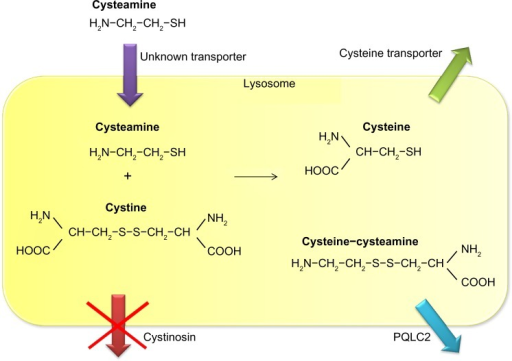 Mechanism of lysosomal cystine depletion by cysteamine. Cysteamine enters the lysosome through an unknown transporter and breaks the disulfide bond in cystine. This results in formation of cysteine and a new cysteine-cysteamine mixed disulfide, each of which can exit the lysosome through its own transporter.