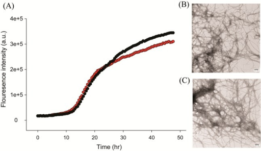 Aspirin does not inhibit amyloid formation by human amylin. (A)Thioflavin-T fluorescence assays of the time course of amyloid formationin the absence (black) and presence (red) of a 20-fold excess of aspirin.(B) TEM image of the sample of amylin without aspirin recorded atthe end of the kinetic experiment. (C) TEM image of the sample ofamylin with a 20-fold excess aspirin recorded at the end of the kineticexperiment. Scale bars represent 100 nm. Experiments were conductedat pH 7.4 and 25 °C in 20 mM Tris buffer with 0.25% DMSO (v/v)in the absence of any fluorinated alcohol cosolvent. The concentrationof amylin was 16 μM, and the concentration of aspirin was 320μM.